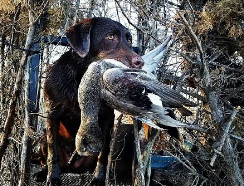 USFWS Cancels Waterfowl Survey For First Time in 55 Years, Two Duck Species Trending in Opposite Directions with Ducks Unlimited and Hard Hitting Loads and Destination Waterfowl Hunts with Kent Cartridge
